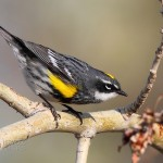 Yellow-rumped Warbler3
