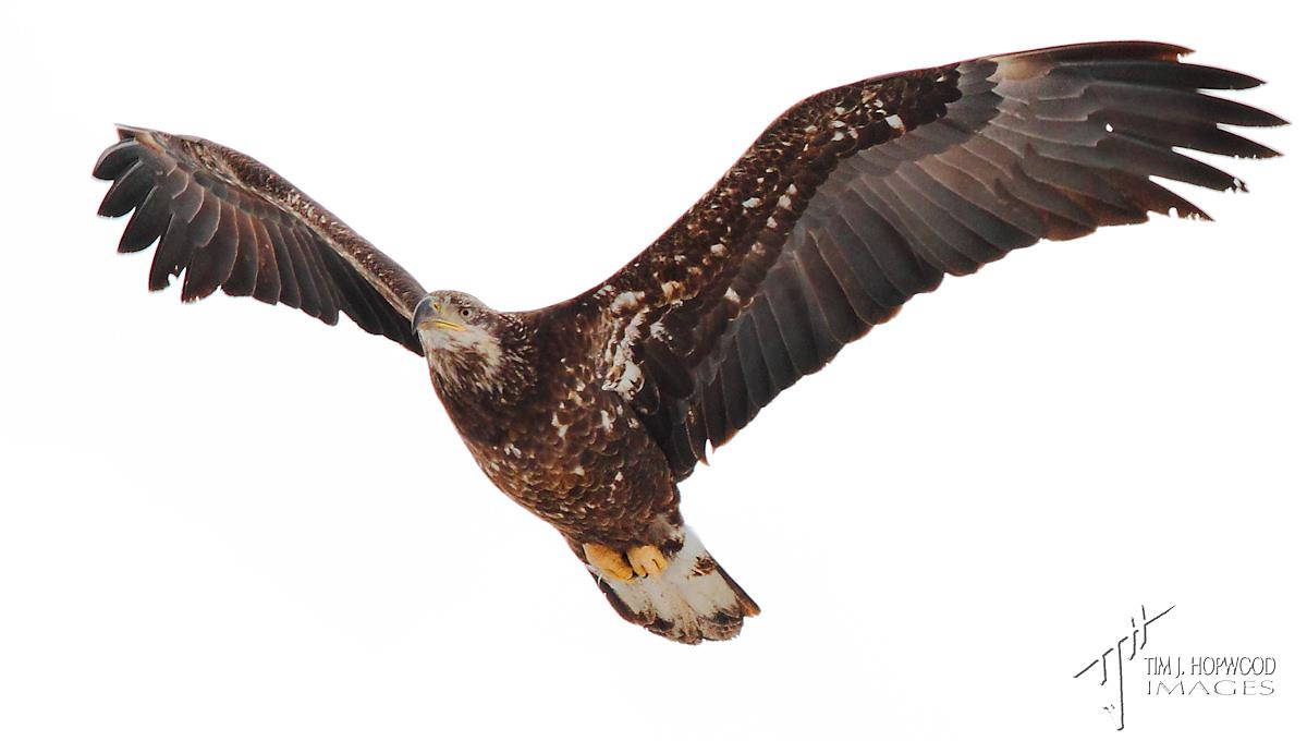 aB_Eagle2
