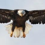 sB_Eagle2