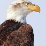 sB_Eagle4