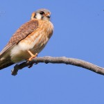 zAmerKestrel(f)