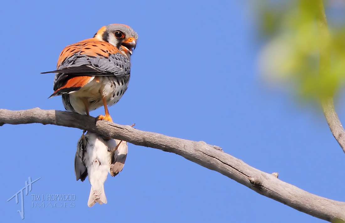 zAmerKestrel(m)