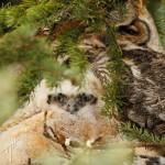 zGHO Owlet