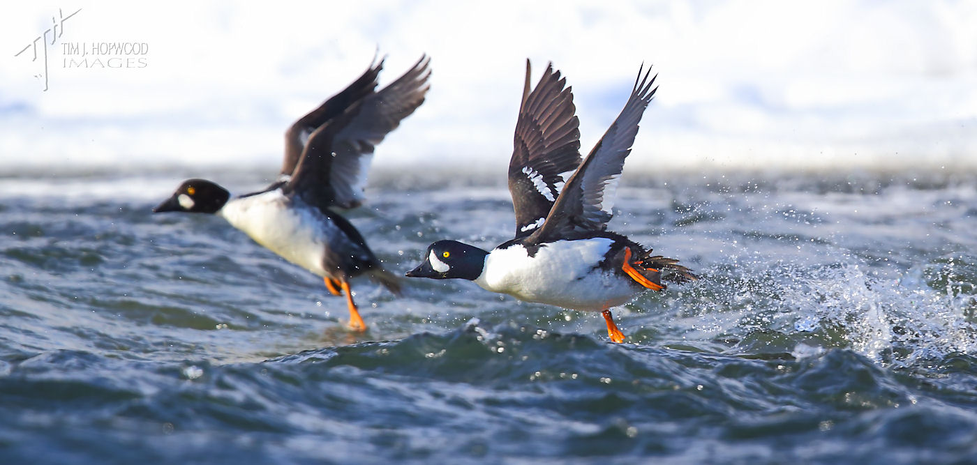 BarrowsGoldeneye -taking off 2Feb2014-crop-final-fb