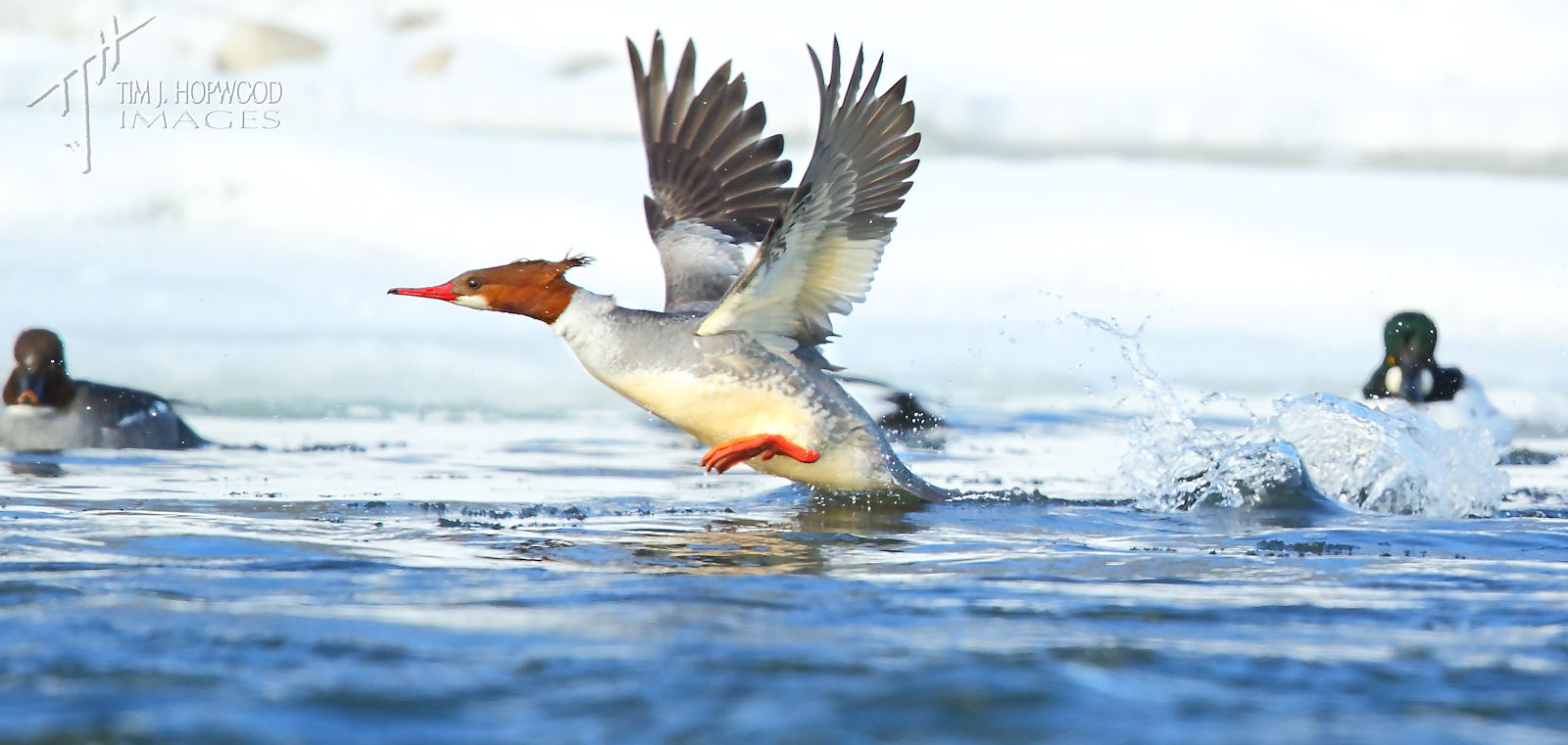 Common Merganser 2Feb2014-crop-fb