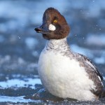CommonGoldeneye 2Feb2014-crop-final-fb