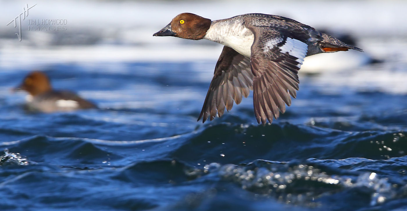 CommonGoldeneye flying 2Feb2014-crop-final-fb