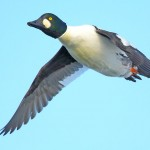 CommonGoldeneye flying2 2Feb2014-crop-final-fb