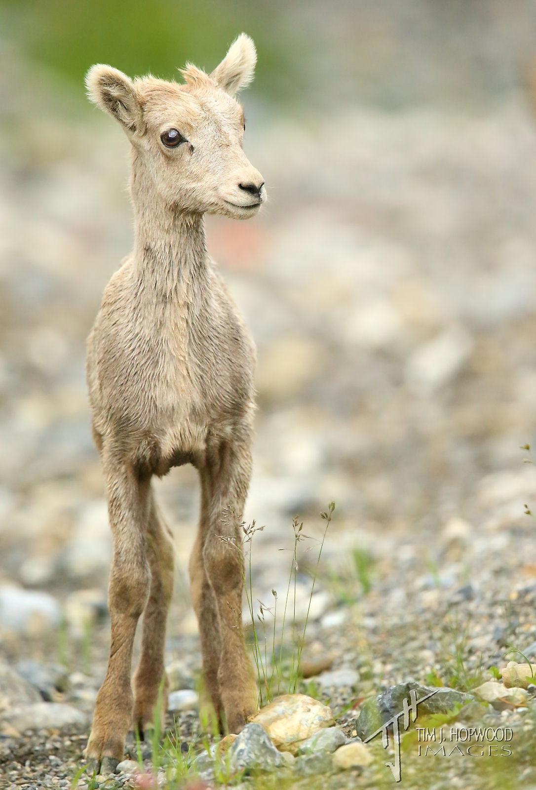 BighornSheep-3 Lamb
