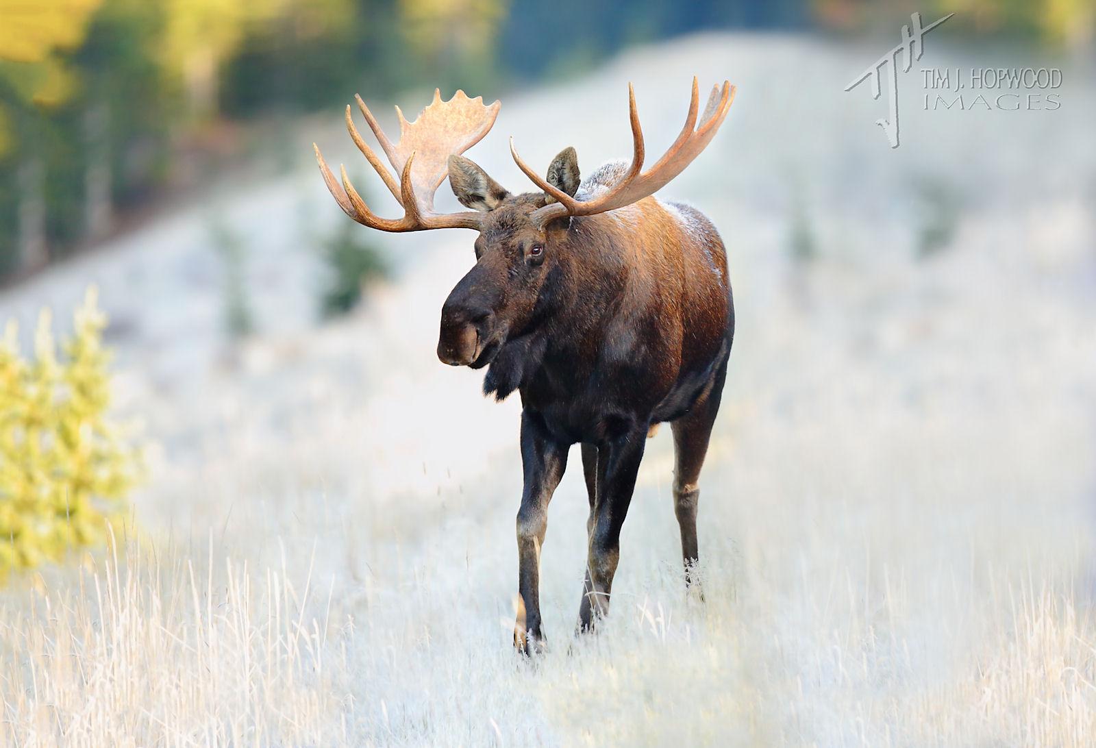 Bull Moose-1