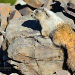 Hoary_Marmot1