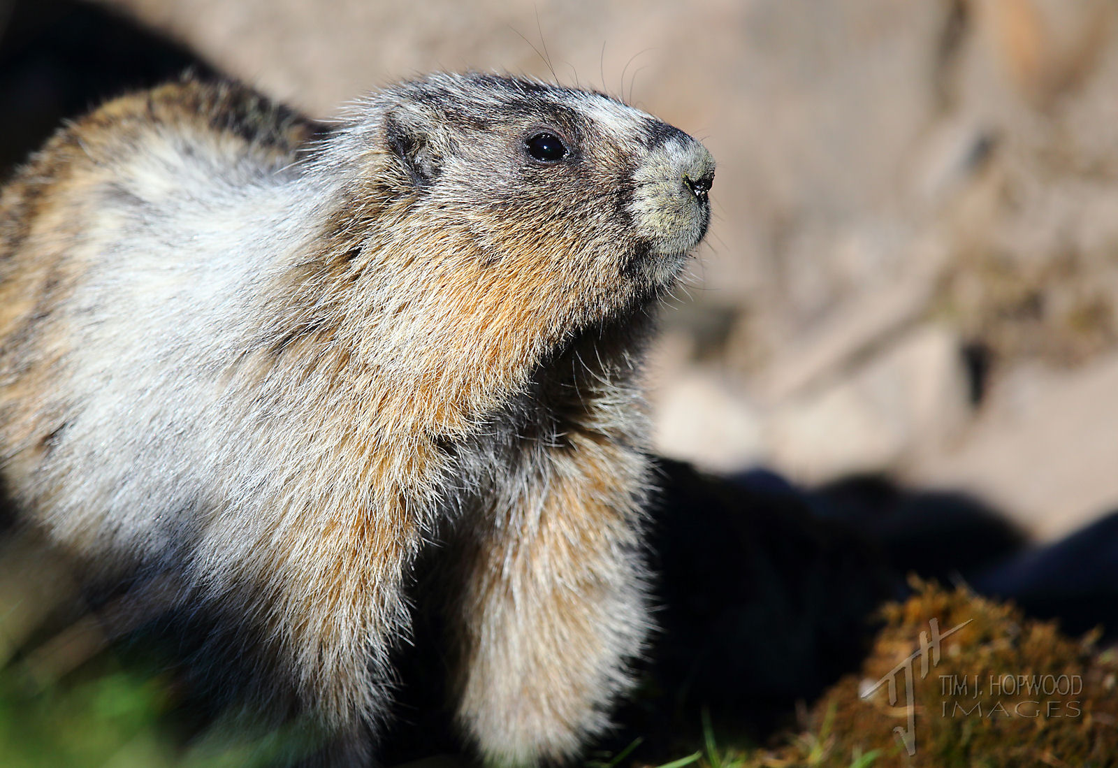 Hoary_Marmot2