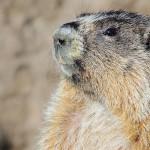 Hoary_Marmot3