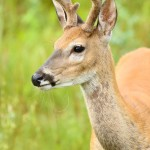 aWhite-tail_Deer